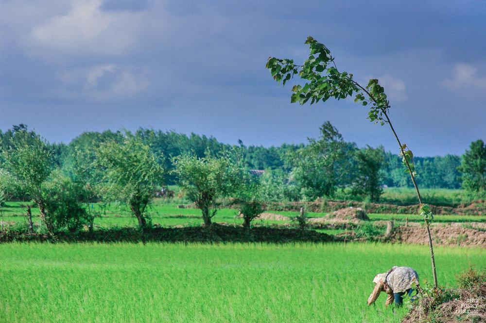 Ricefields   Lahijan, Gilan Province, Northern Iran