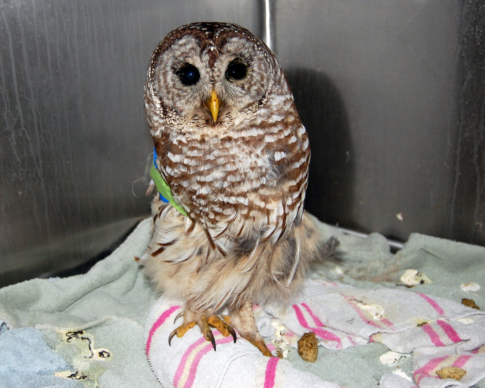 Barred Owl Wing Fracture (update) 4-27-2014.jpg