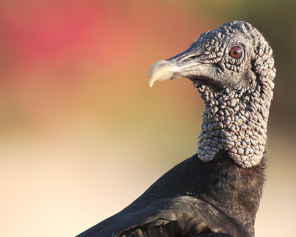 Black Vulture by  Mdf .
