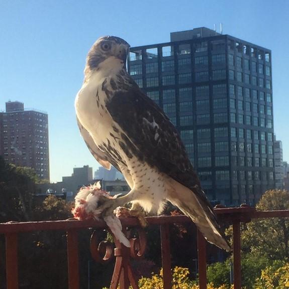 """I'm a little late, but here's my window hawk."" By allywarner via Reddit."