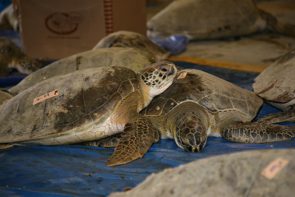 A green sea turtle rests its head on a companion inside the rescue facility at Merritt Island National Wildlife Refuge. Image credit:  NASA/Amanda Diller
