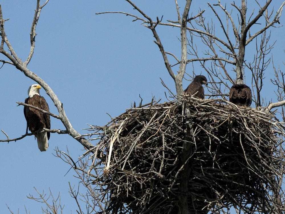American Eagle Bird Nests in South Dakota