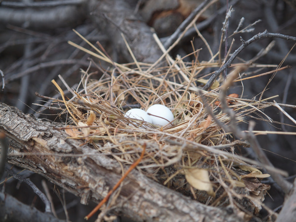 Mourning Dove Nest by  Louis