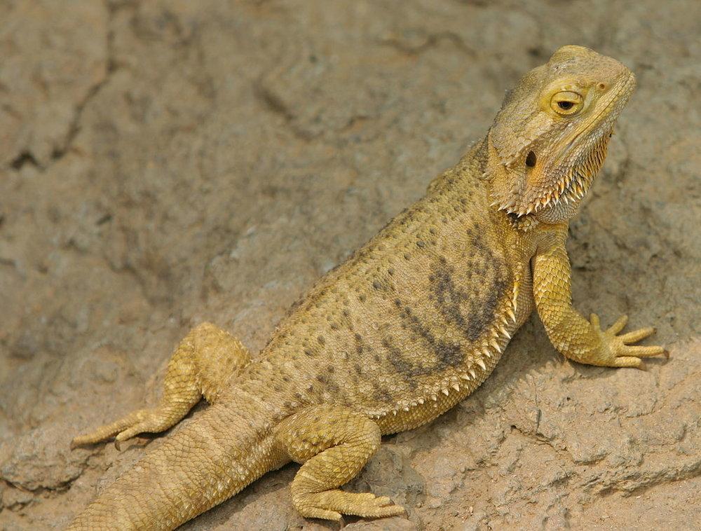 Bearded_Dragon_at_Indianapolis_Zoo.JPG