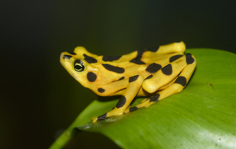 Panamanian Golden Frog, by  Brian Gatwicke