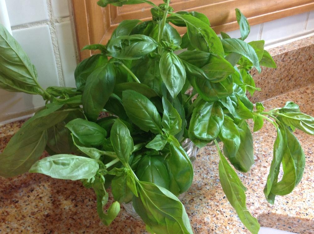 Beautiful fresh basil!