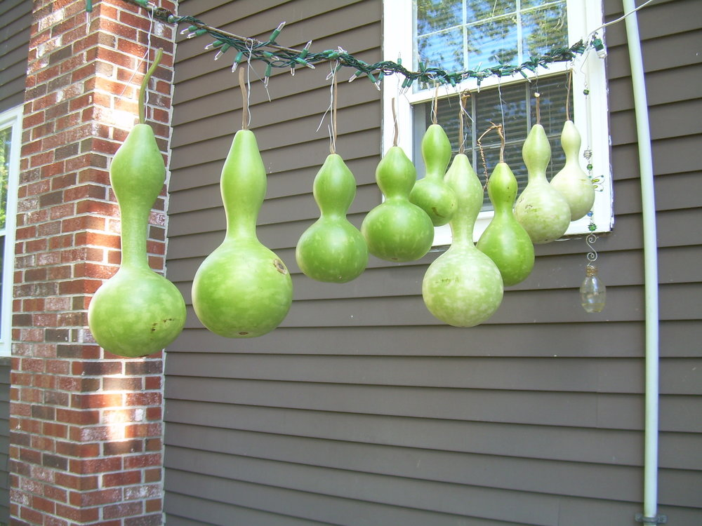 my own gourds beginning drying process