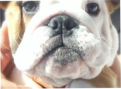bulldog puppy training