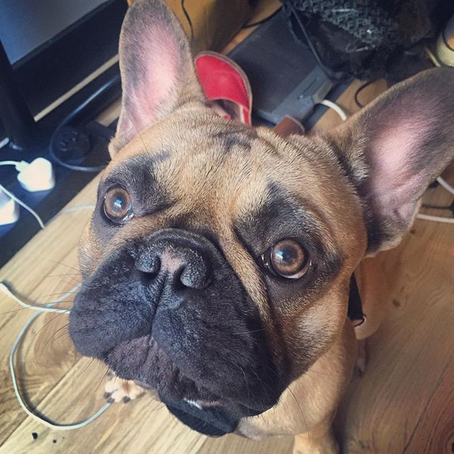 Scout's still on holiday, so Henry's visiting the mess under our desks #sunshinepictures #frenchbulldog #weworkoldstreet #dogsintheoffice #sittingfortreats #wework #henry #filmproduction