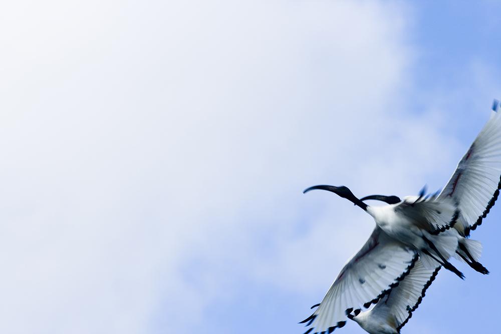 ibis copy.jpg