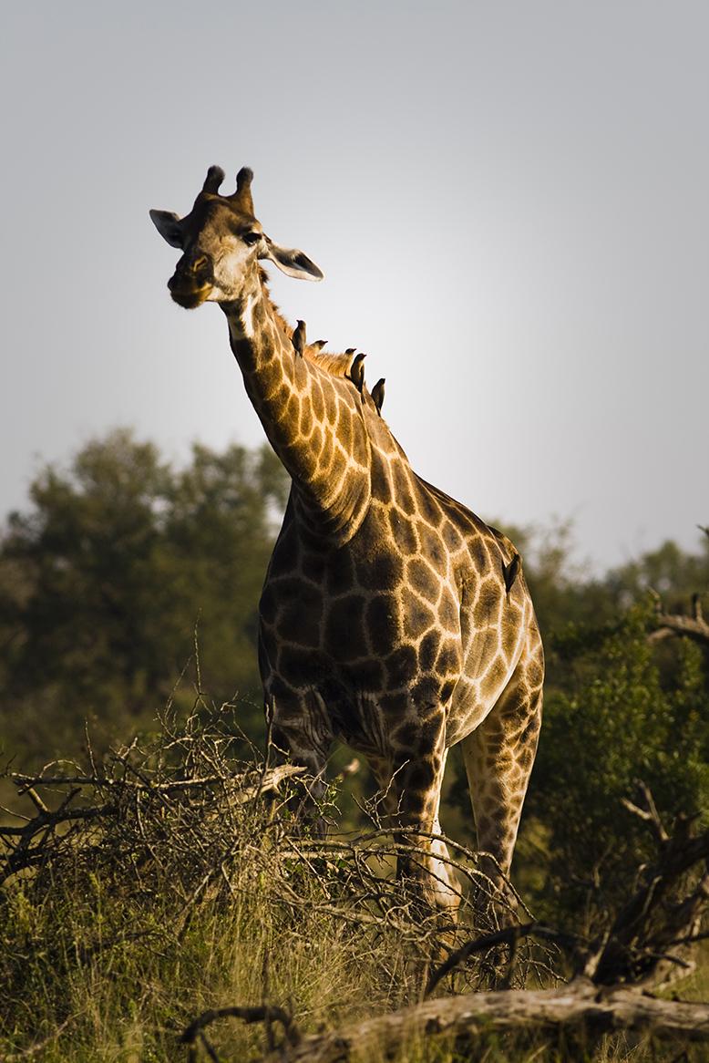 giraffe copy.jpg