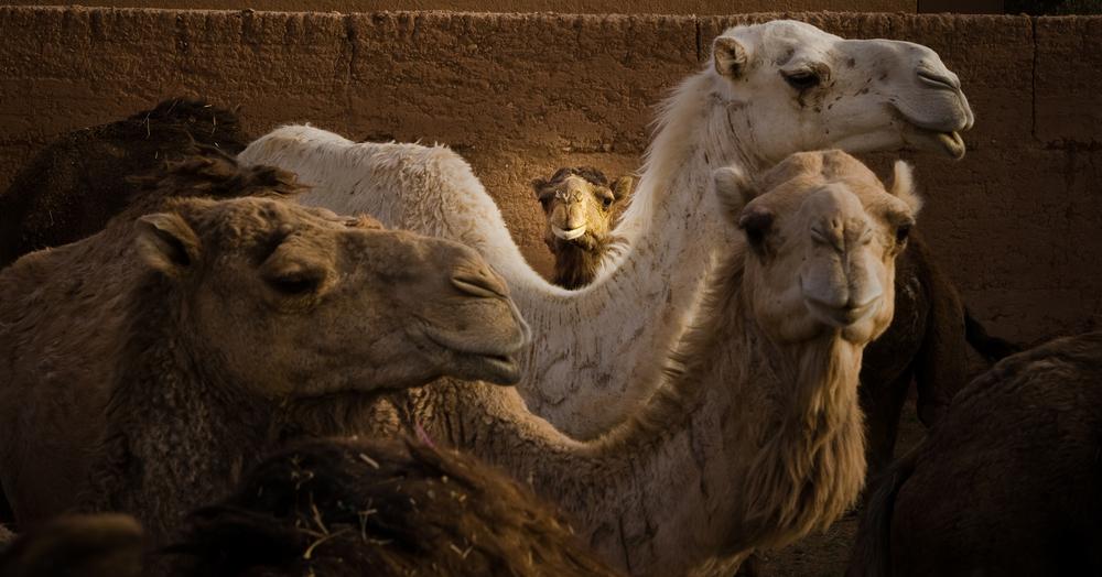 camello copy.jpg
