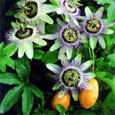 Passionflower for tea ...Passionfruit for breakfast