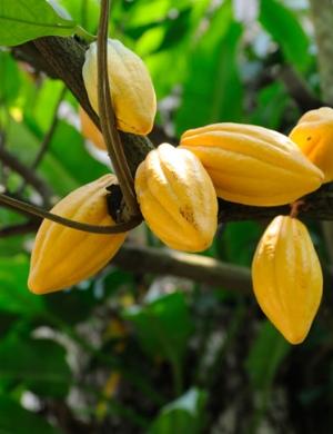 cacao pod 2.jpg