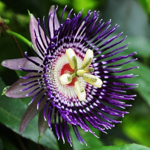 maracuja-passion-flower-736.jpg