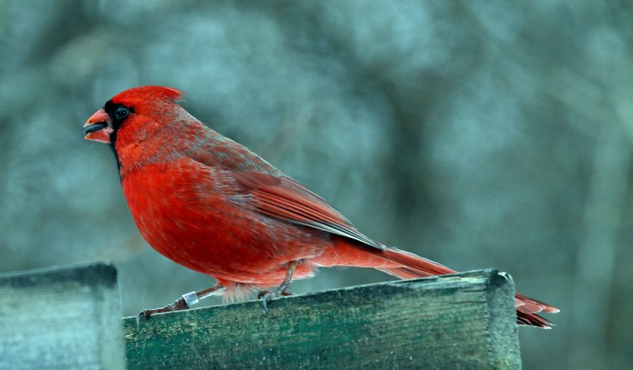 close up view of cardinal bird