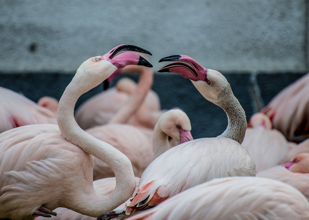 Beautiful flamingoes pecking at each other, remind you of anyone?                                                                                      Photograph: Paul Harris