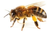 the-honey-bee.jpg
