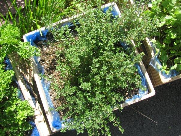 Perennial Herbs — Food First NL