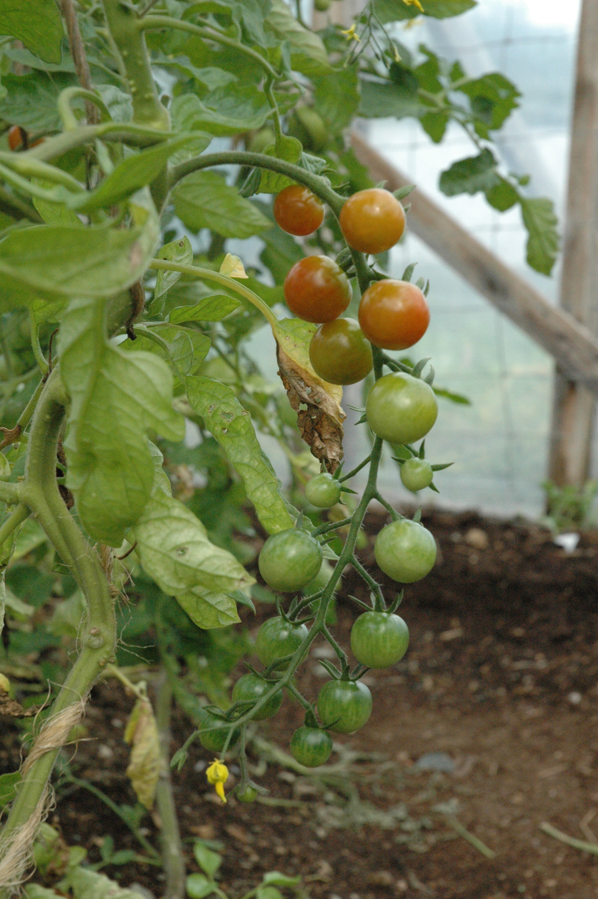 The Fruits of Labour: Tomatoes