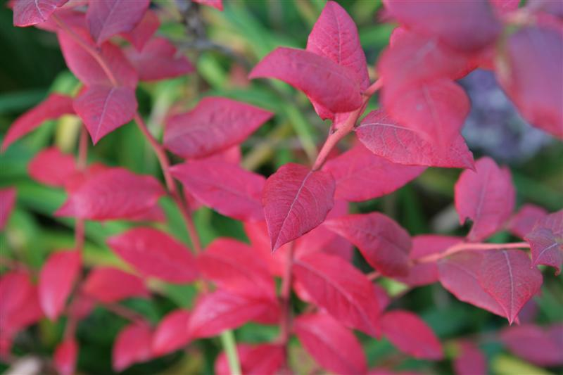 blueberry bush in Autumn- photo credited to http://gardentherapy.ca/bd-oct-2009/