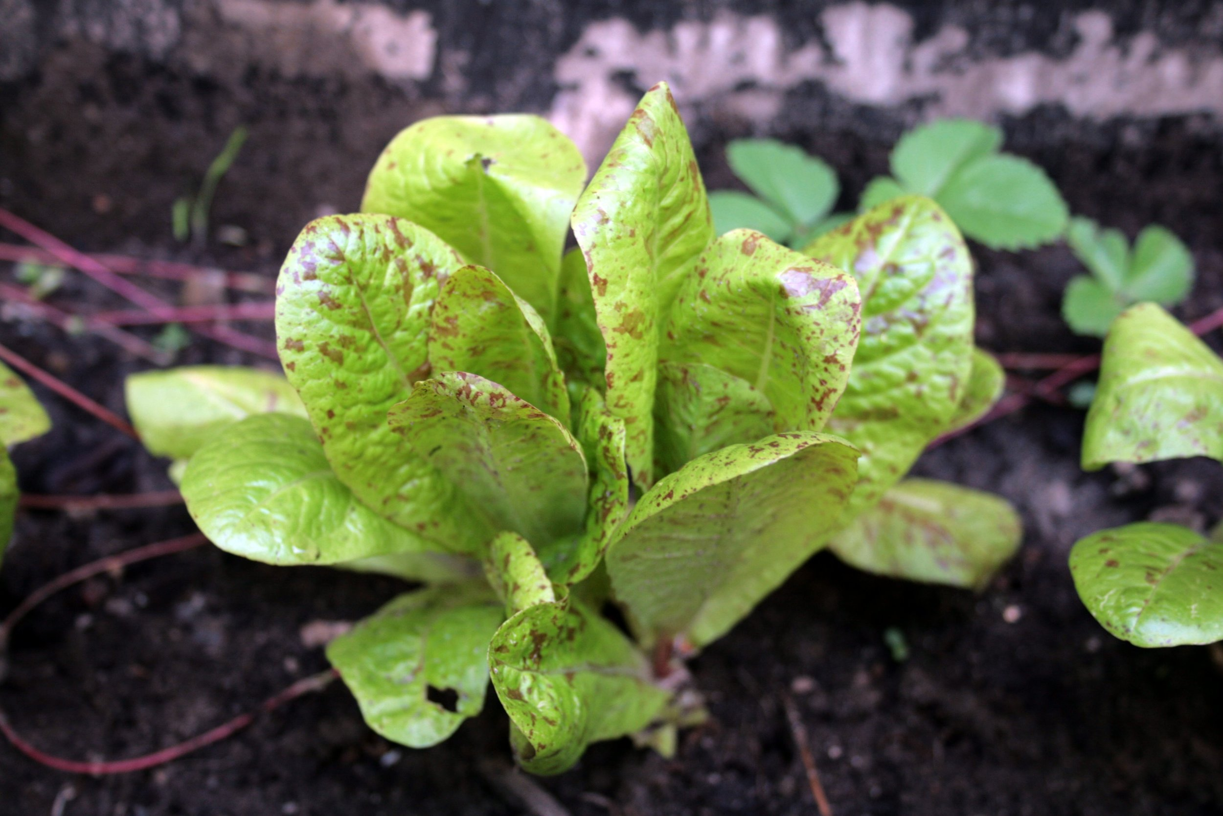 'Freckle Face' Lettuce From Last Year's Garden
