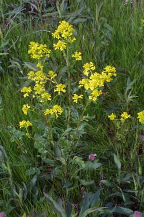 Wintercress1.jpg