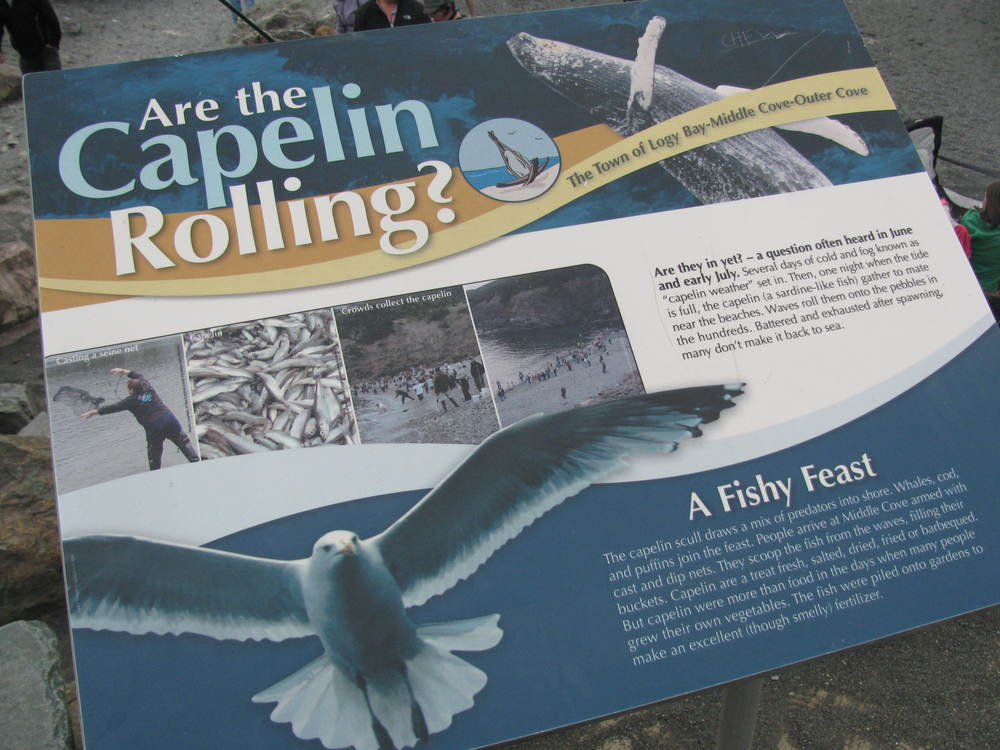 Are the capelin rolling?