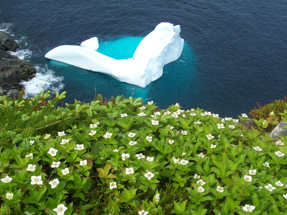 Iceberg and crackerberry flowers