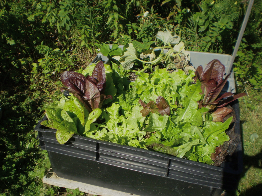 lettuces-in-a-fish-box-KT.jpg