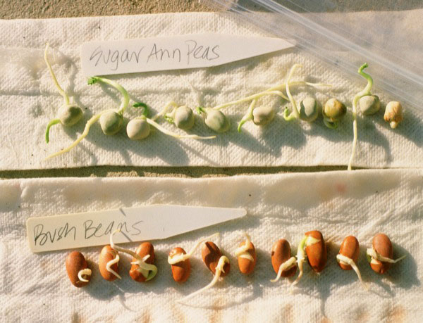 acacia seeds germination heat