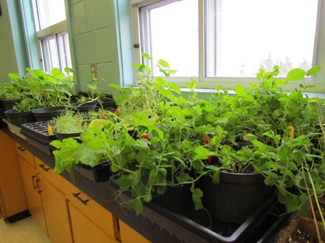 Seedlings growing in the school
