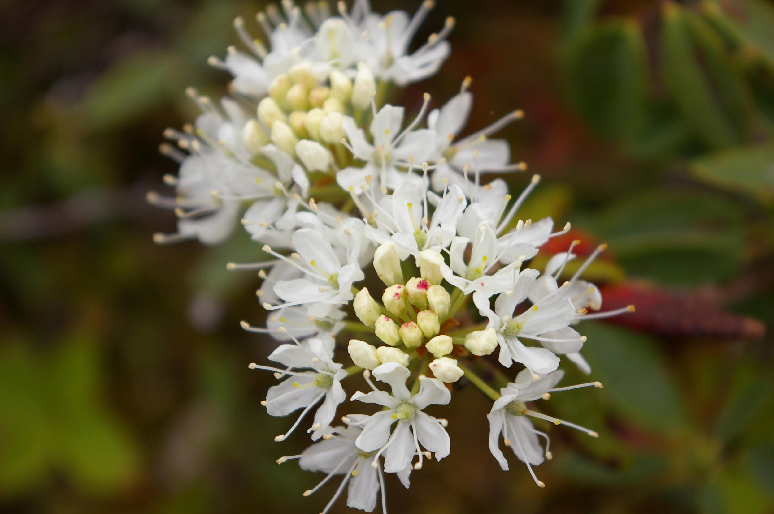 Close-up of Labrador tea flowers (photo credit Lisa McBride Photography)