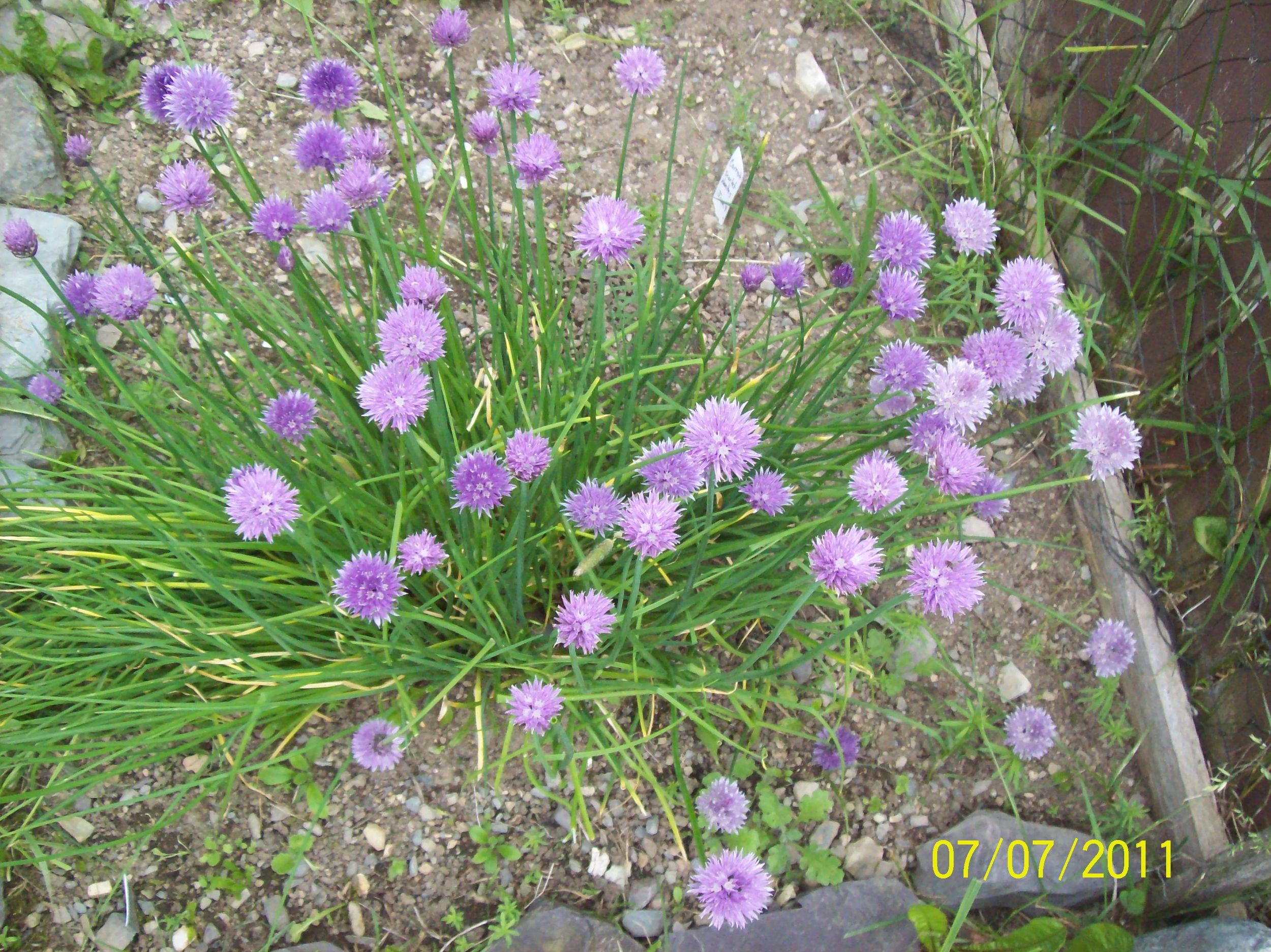 Lots of chives in the garden! Photo credit Rachelle Batstone