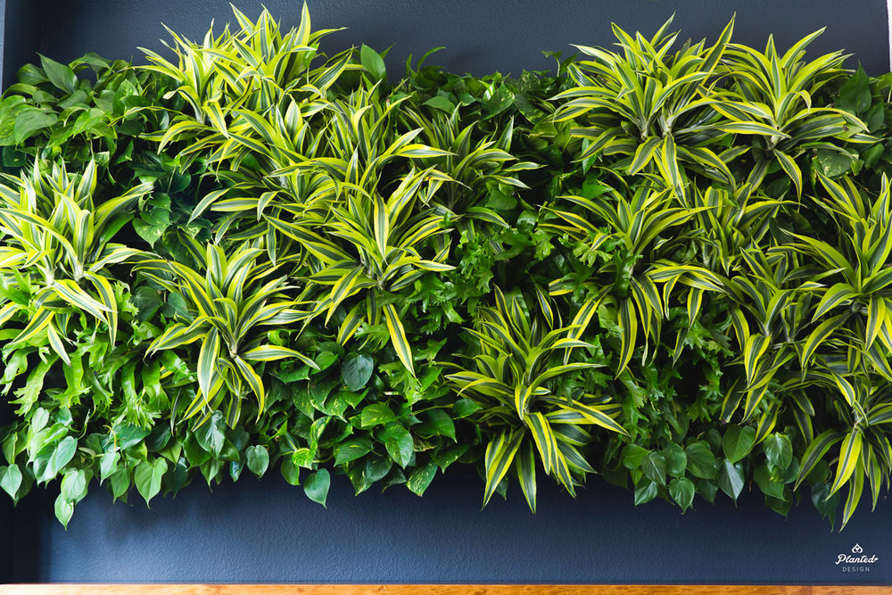 Living walls are alive. They require appropriate lighting, watering and pruning on a regular basis.
