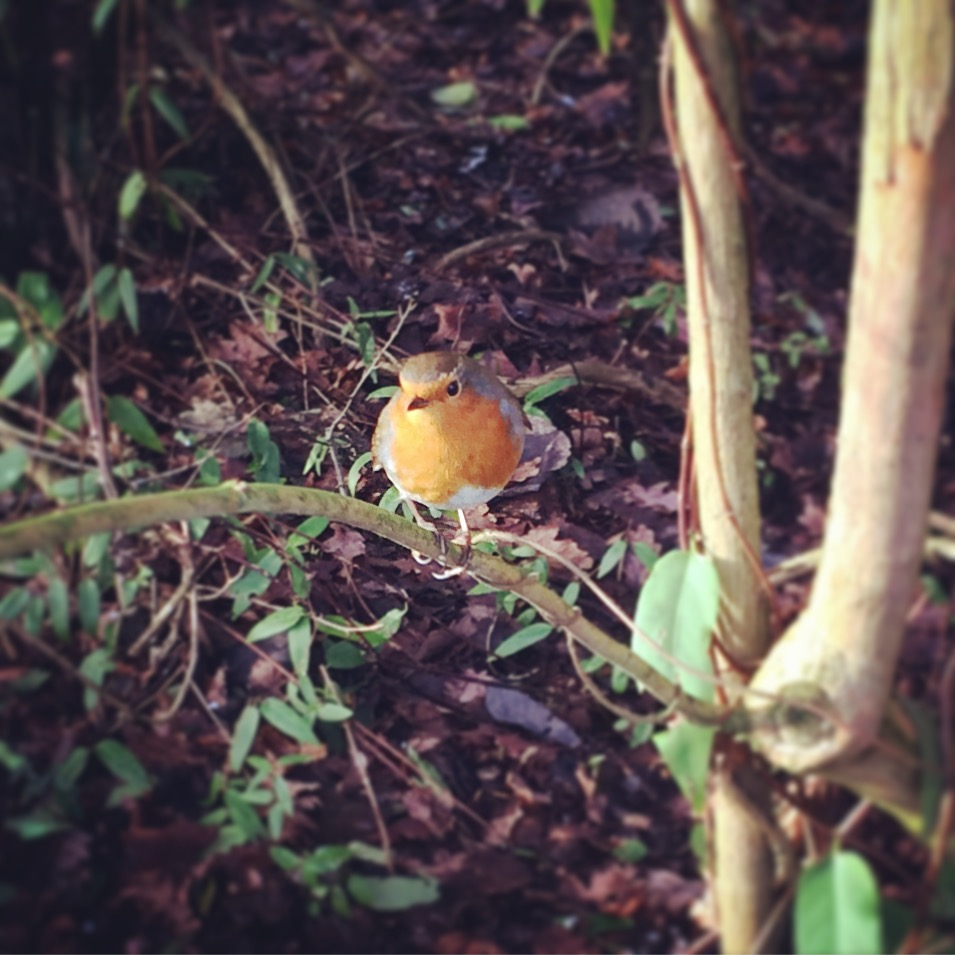 Delightful chubby bird in the Edinburgh Botanical Gardens