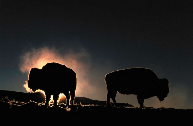 North American Bison, Yellowstone National Park, Wyoming, USA