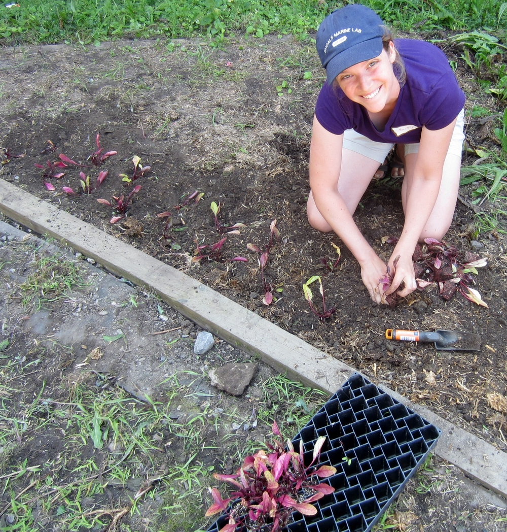 Local teachers clean up and plant beets in  Poughkeepsie High School's  courtyard garden during our 2014 Summer Institute.