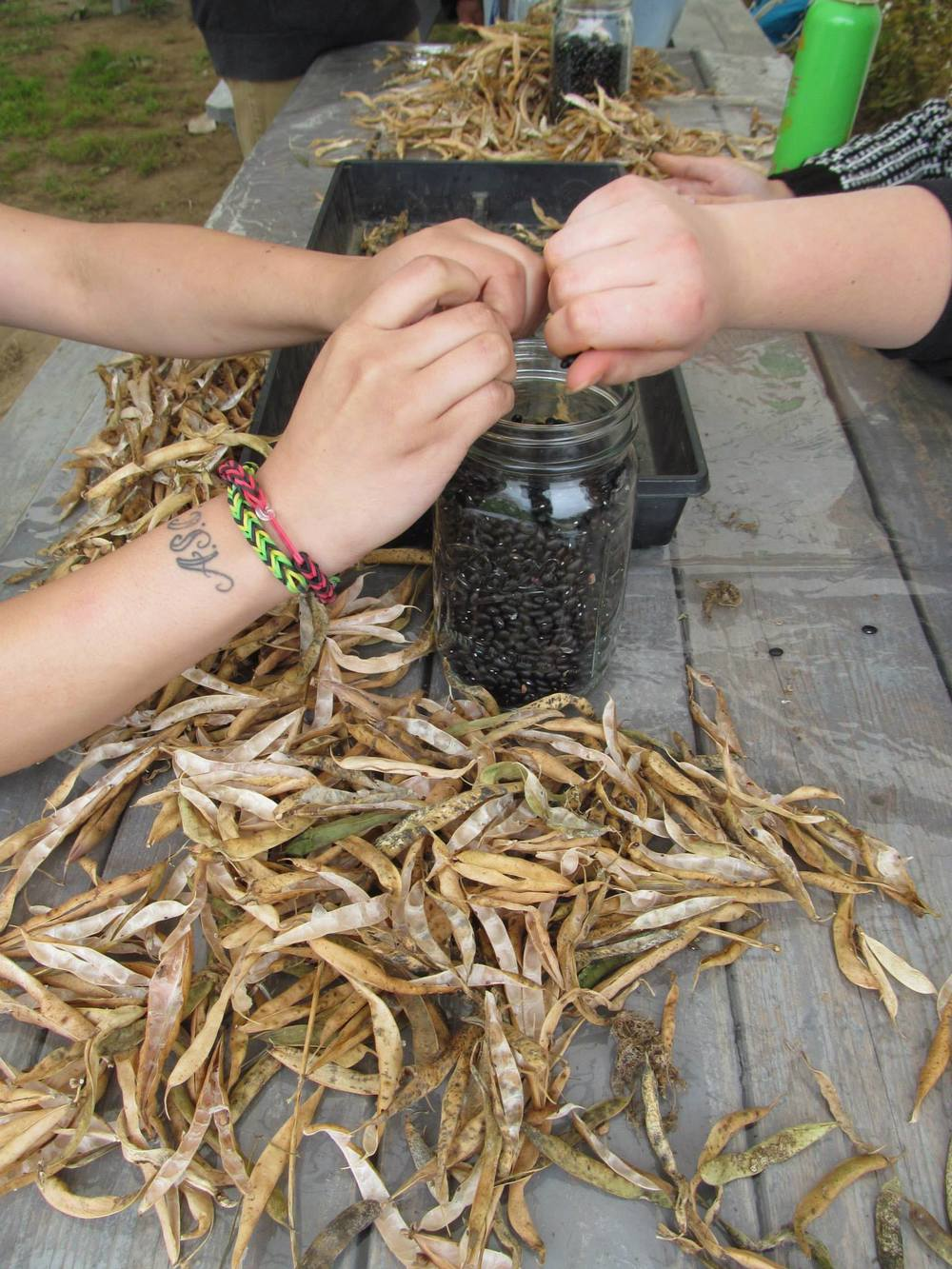 Youth from  Green Teen  shell Midnight Black Turtle Beans as part of  Seeds of the Food System  program.
