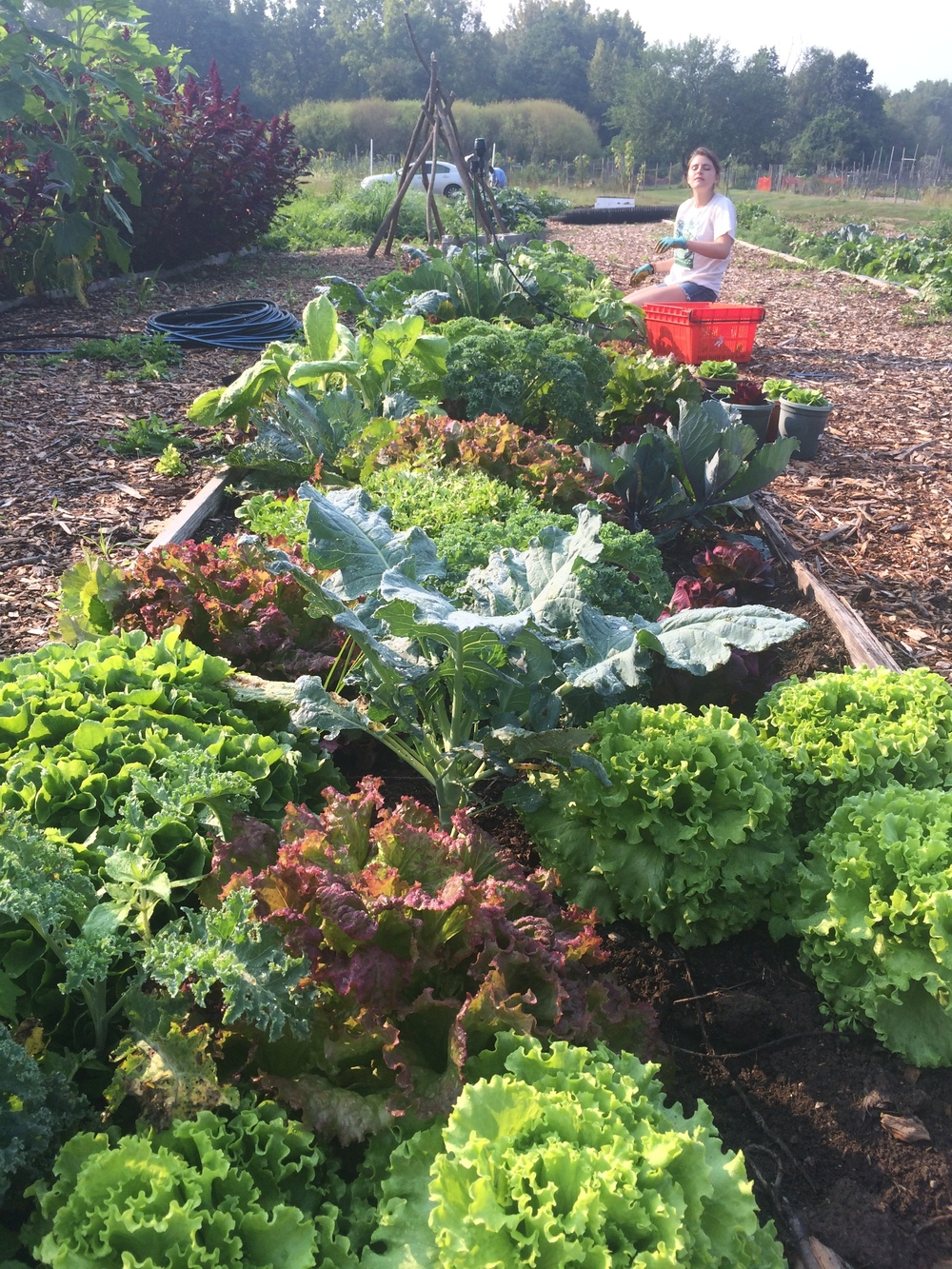 lettuce and kale in one of the education garden beds