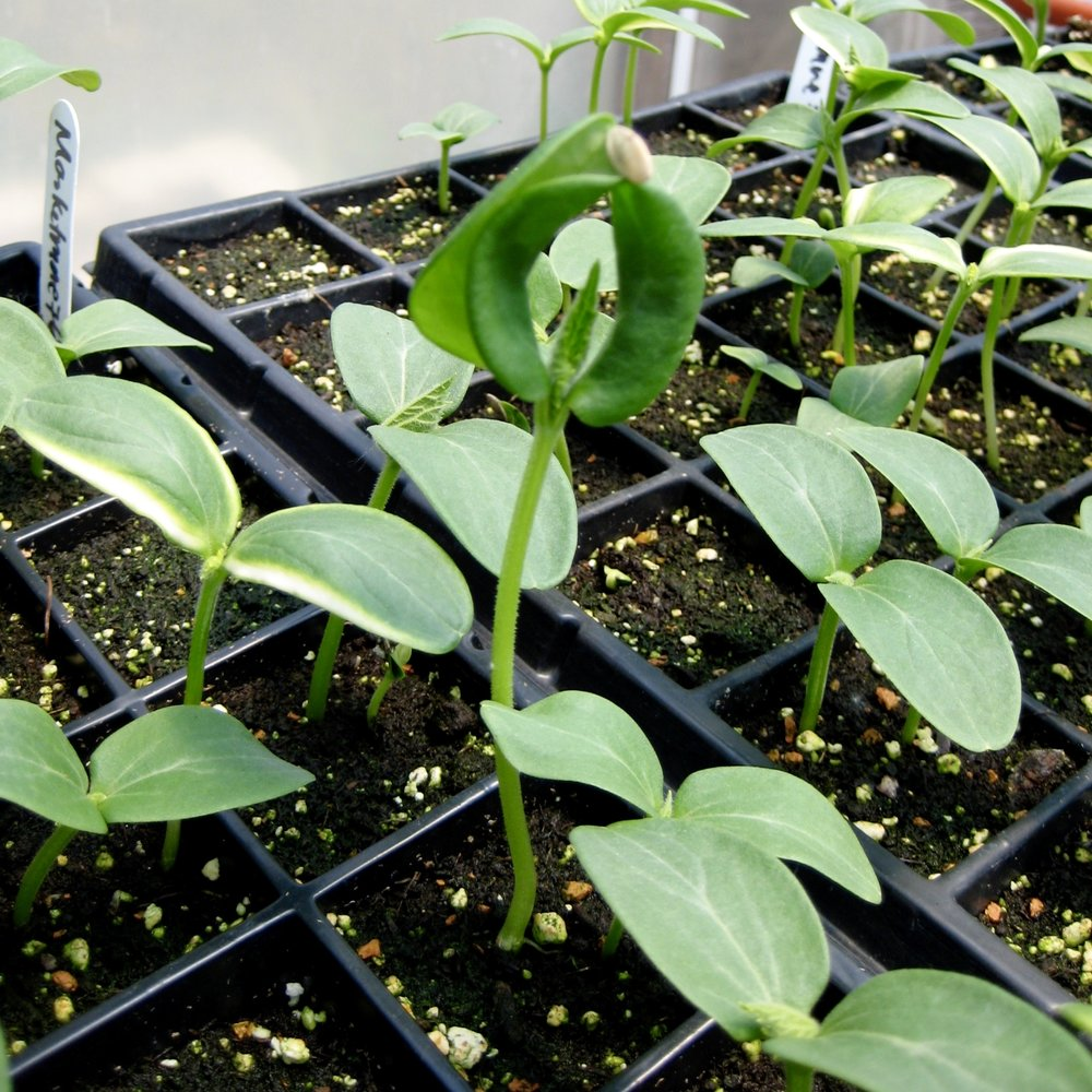 Cucumber seedlings in the greenhouse
