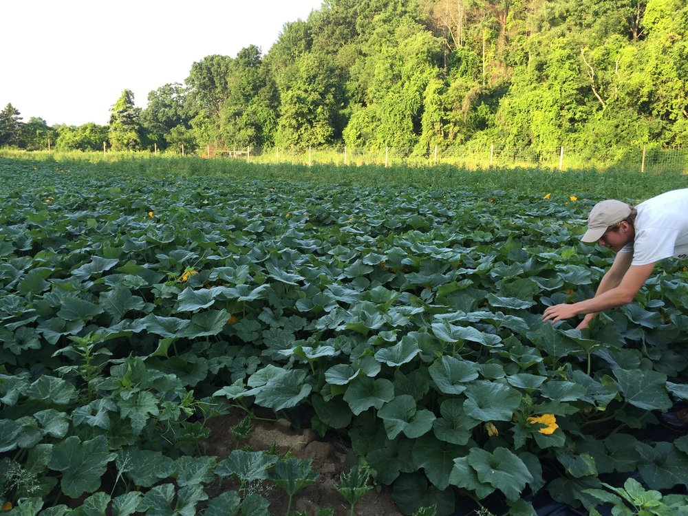Anthony inspects a cucurbit planting.