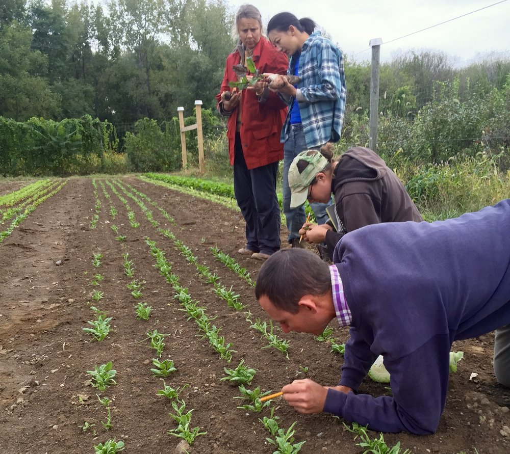 The farm crew inspects a young planting of spinach.
