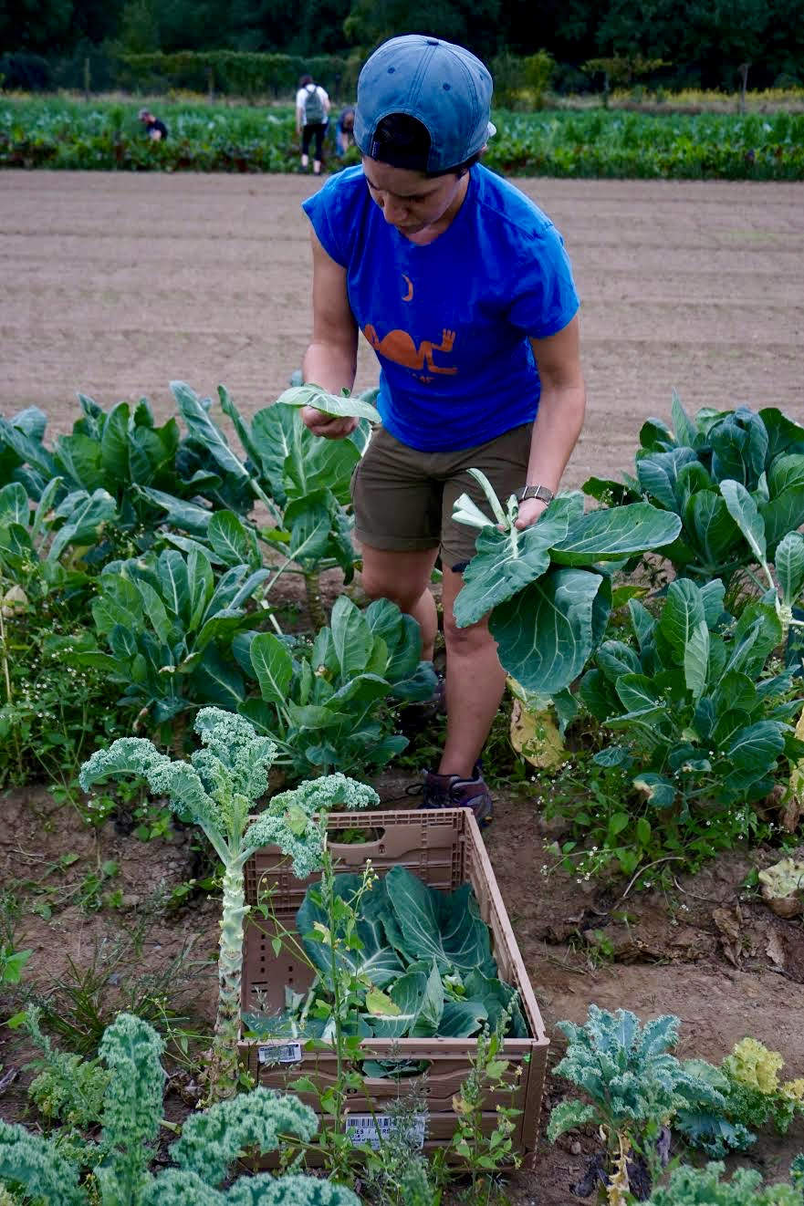 Photo credit: Eilif Ronning, PFP Media Intern Sarah Salem from Dutchess Outreach inspects gleaned collard greens to ensure high quality food is being donated.