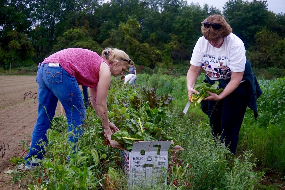 Photo credit: Eilif Ronning, PFP Media Intern Workshop participants glean bright orange, yellow and pink Swiss chard.