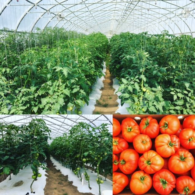 growers row tomato tunnel.JPG