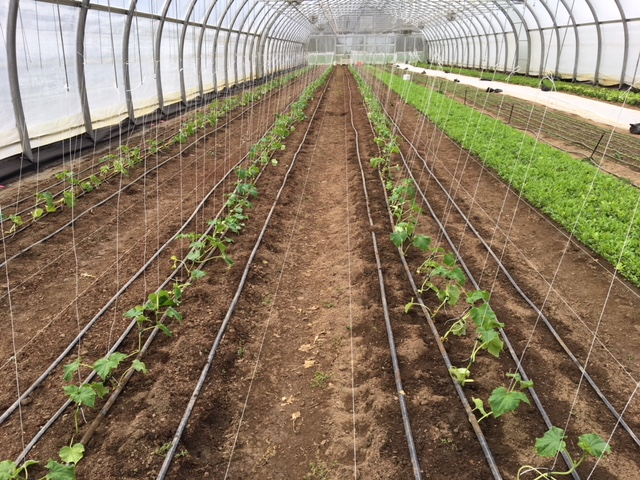 Tunnels starting to fill up with cucumbers
