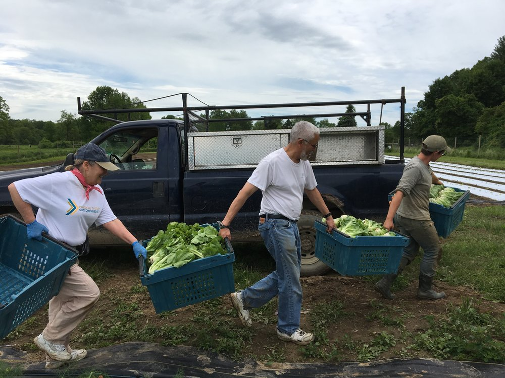 CSA members co-carry heavy bins of lettuce during a morning harvest