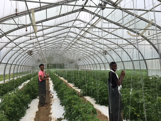 Editor's Note: Heck ye Demier and Lucas, look at those tomatoes now! (Please refer to the  Green Jobs Post )