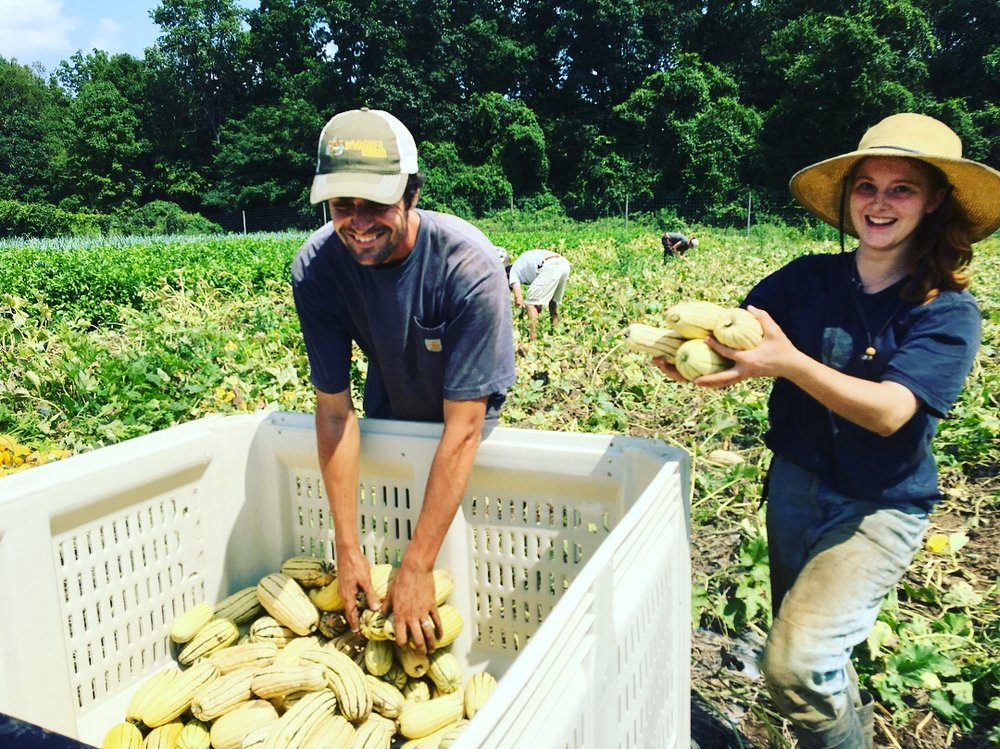 Chris and Kira harvesting 3,266 delicata squash